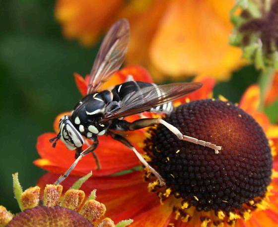 White Faced Bee - Spilomyia fusca