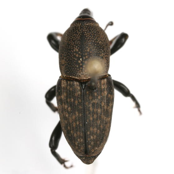 Sphenophorus holosericus Chittenden - Sphenophorus holosericus