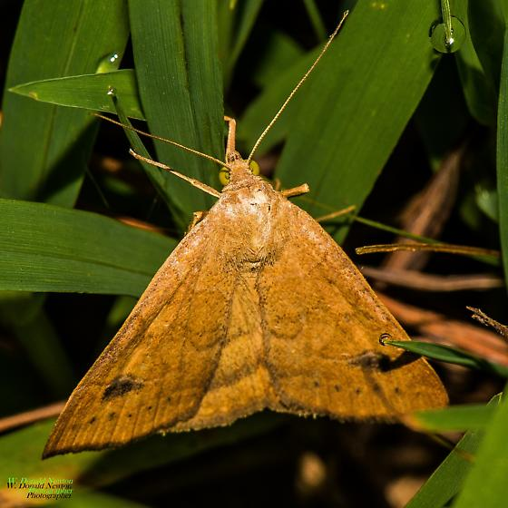 Burns Park Moth, ID, please. - Caenurgia chloropha - female