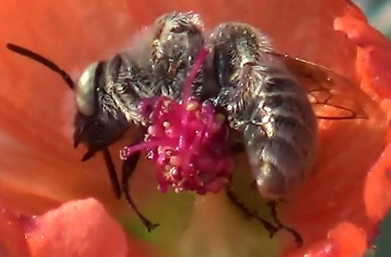 Chimney Bee - Globe Mallow Bee in Sunlight - Diadasia diminuta - male