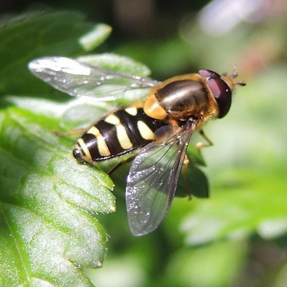 Syrphid/Gooseberry - Syrphus opinator