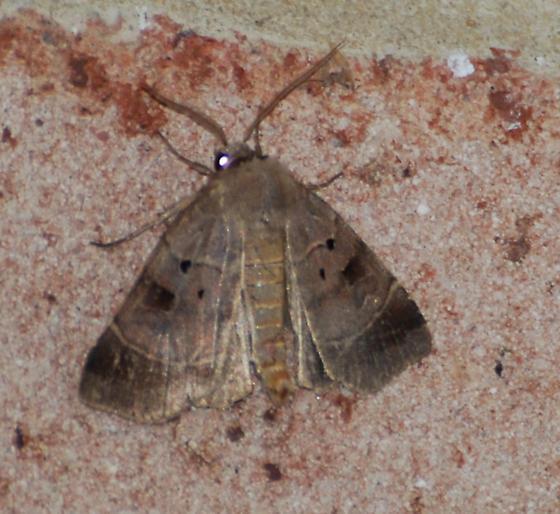 Agnorisma badinodis - Pale-banded Dart - Hodges#10955? - Agnorisma badinodis