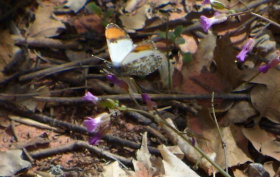 Butterfly - Anthocharis thoosa - male