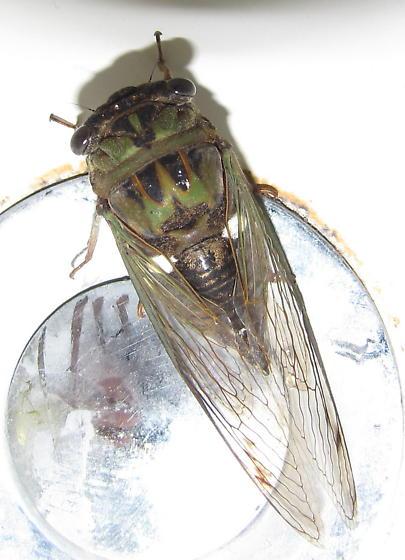 Cicada - Neotibicen pruinosus