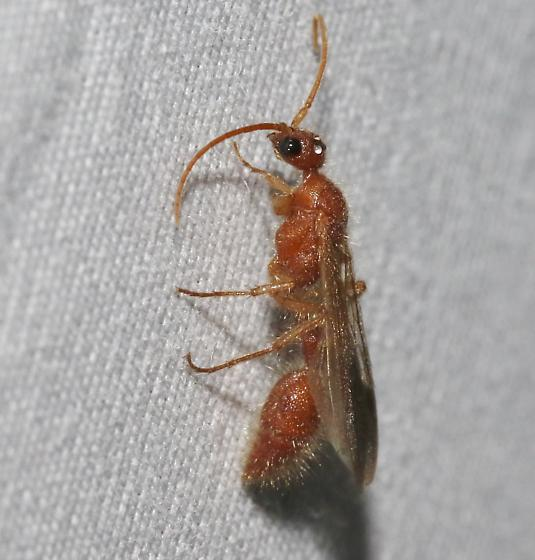 Mutillid, Tiphiid, or... - Chyphotes - male