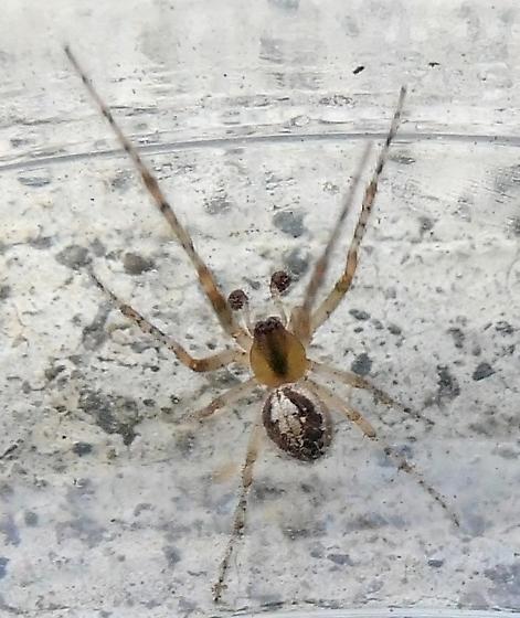spider - Zygiella x-notata - male