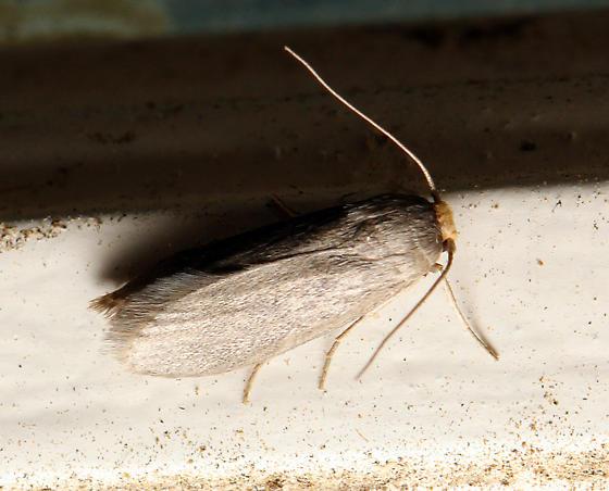 unidentified moth - Achroia grisella