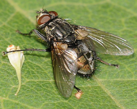 Fly - Bellardia