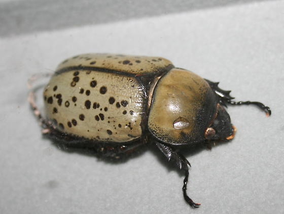 Really big beetle dynastes tityus bugguide really big beetle dynastes tityus female sciox Images