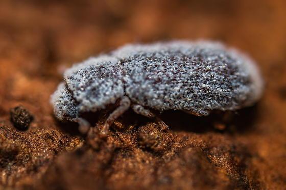 Beetle  - Endeitoma granulata