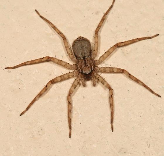 spider - Selenops