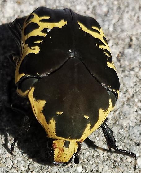 Harlequin Beetle - Gymnetis thula
