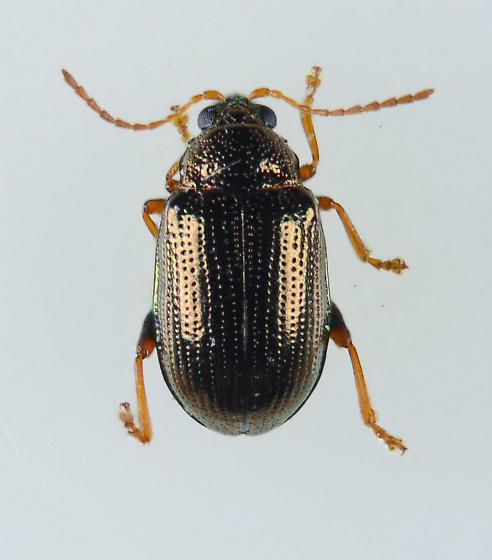 Alticini - Flea Beetle of sorts - Crepidodera
