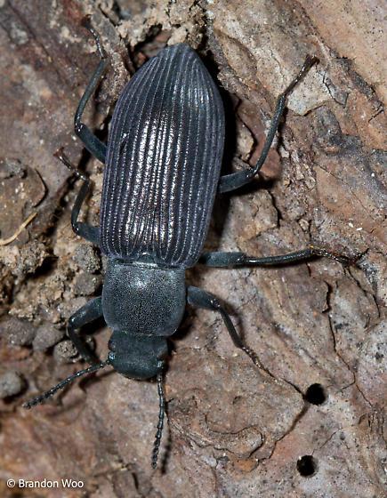 Xylopinus saperdoides