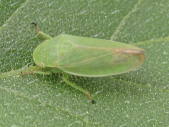 Cicadellidae - Gypona