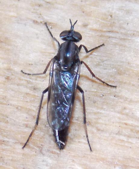 Ozodiceromyia