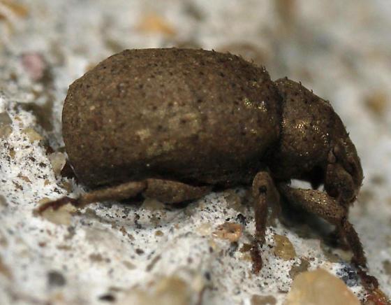 Weevil - Romualdius scaber