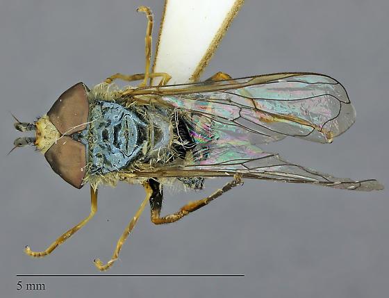 Eupeodes volucris - male