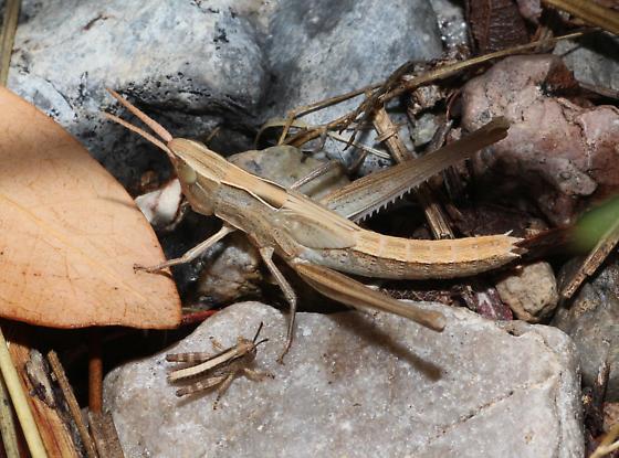 Grasshopper nymphs - Syrbula montezuma
