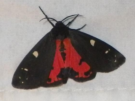 Black moth with red hindwings (2011 Beetle Round-up) - Grammia placentia