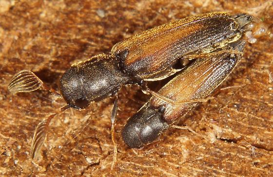Isorhipis obliqua? - Isorhipis obliqua - male - female