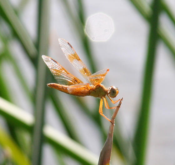 Mexican amberwing - Perithemis intensa - female