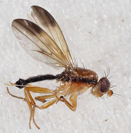 Unknown Fly - Clusiodes