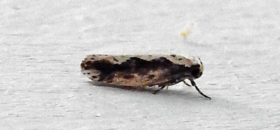 Moth - Ethmia semiombra