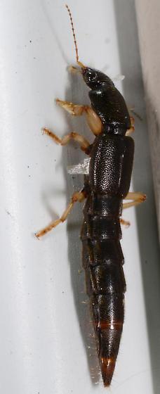 Pinophilus