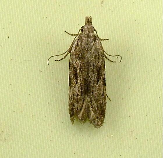 1919 Anarsia lineatella - Peach Twig Borer 2257 - Anarsia lineatella