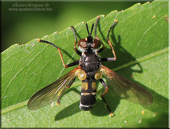 Syrphidae sp - Hemyda aurata