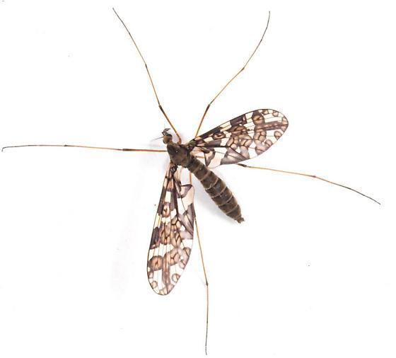 ?Protoplasa fitchii - Protoplasa fitchii - female