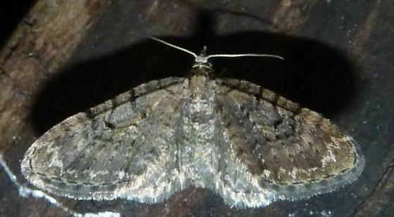 2/28/2021 moth - Eupithecia