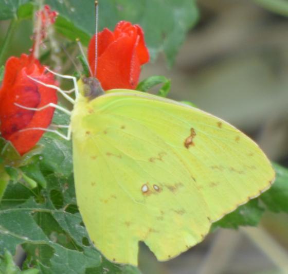 UnknownButterfly5 - Phoebis sennae