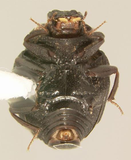 Onthophilus alternatus (Say 1825) - Onthophilus alternatus