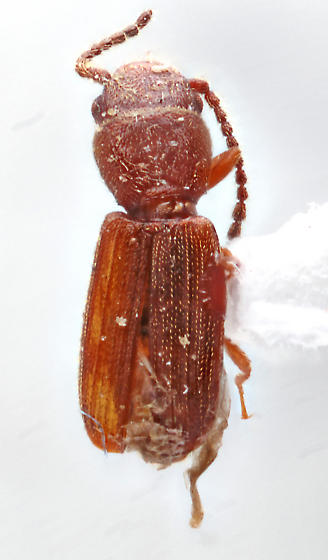 Mohave-32 - Cryptolestes ferrugineus