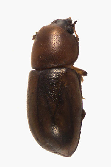 Minute Tree-fungus Beetle - Cis levettei