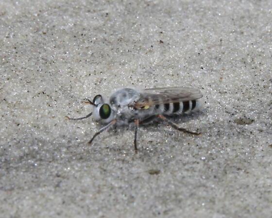 unknown fly - Laphystia litoralis