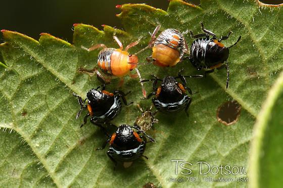 Possibly stink bug nymphs? - Chinavia hilaris
