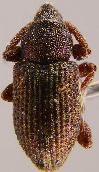 Small weevil - Notiodes aeratus