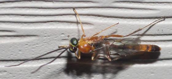 Black-ringed orange ichenumonid