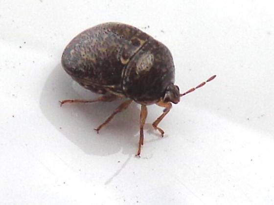 Kudzu Bug - Megacopta cribraria