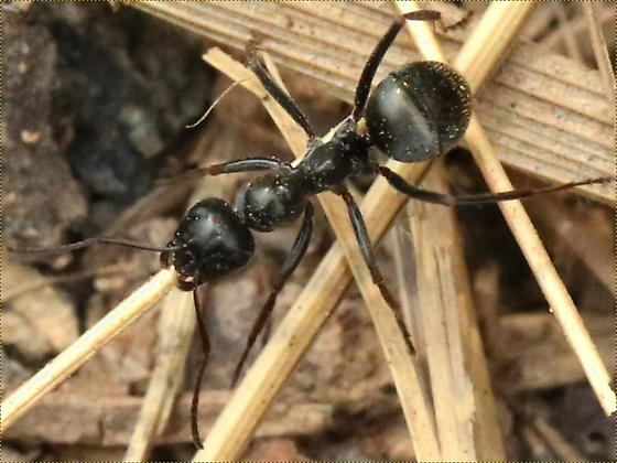 Ant? - Formica subsericea