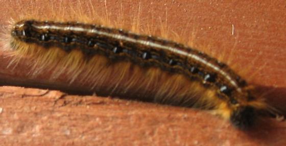 Maine caterpillar - Malacosoma americana