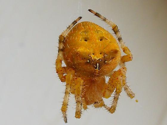 Smiley face Spider - Araneus illaudatus