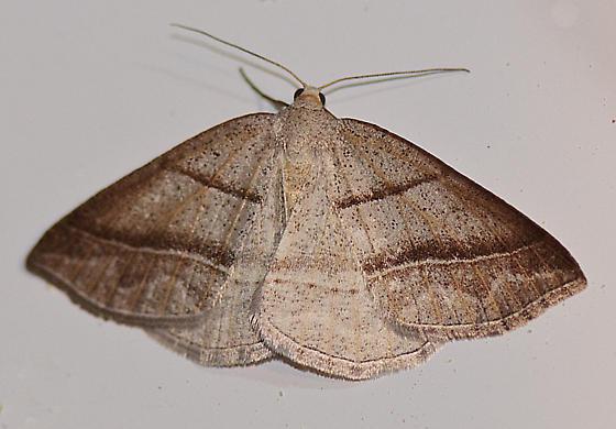 Tricky Moth - Petrophora subaequaria