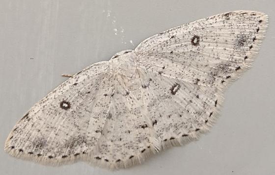 Sweetfern Geometer Moth (Cyclophora pendulinaria)? - Cyclophora pendulinaria