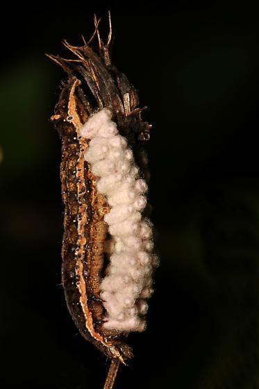 Caterpillar and eggs (braconid?)