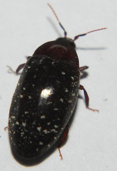 Beetle - Chelonarium lecontei