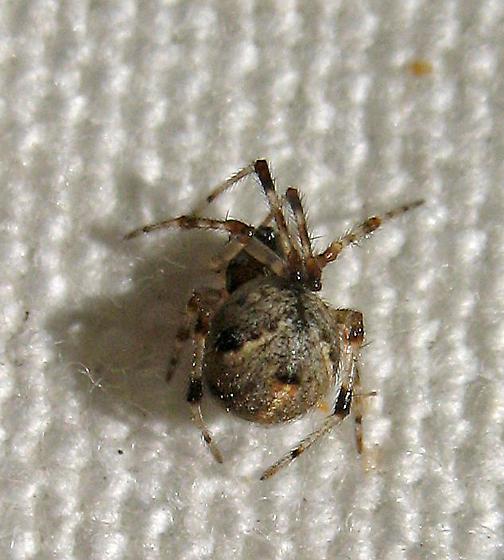T. sisyphoides - Cryptachaea blattea - female